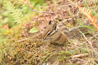 Friendly Chipmunk!