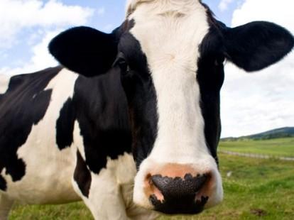 cow-face